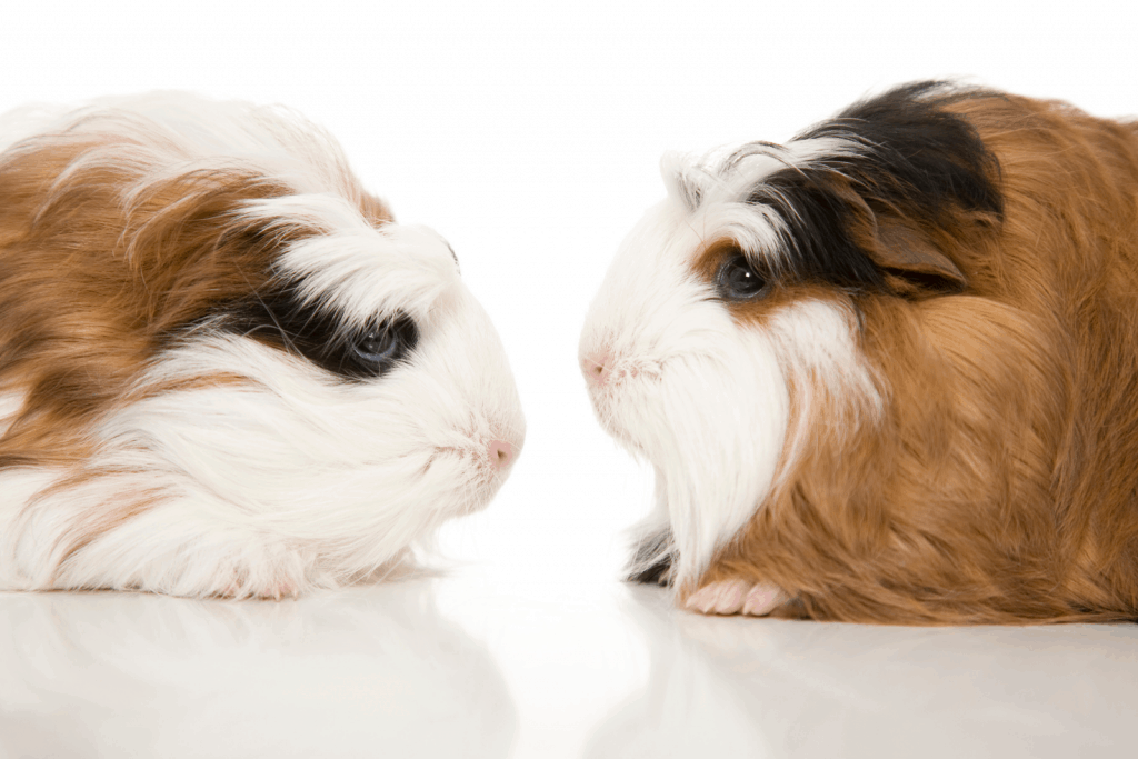 two guinea pigs facing each other