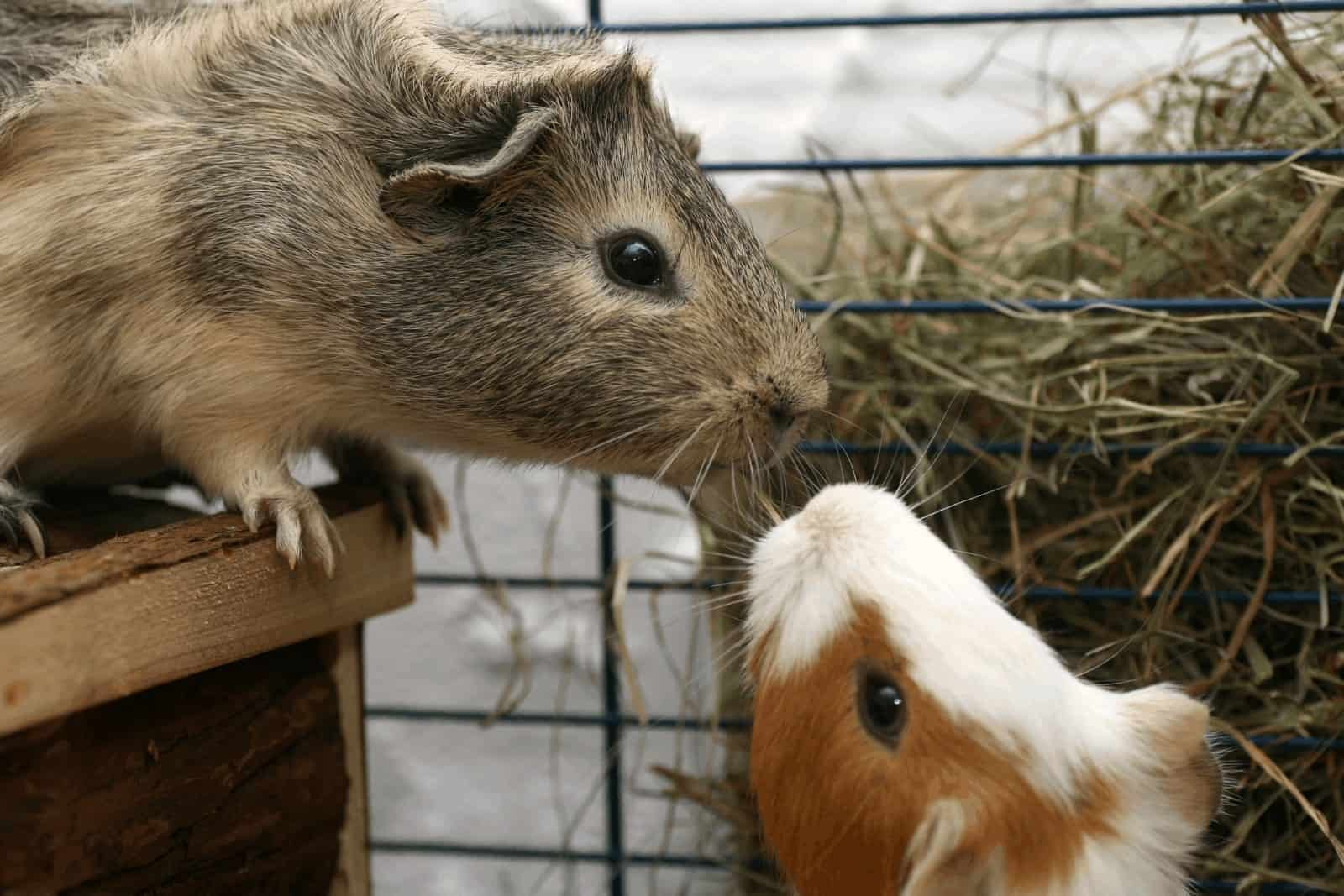 two guinea pigs smelling each other and seems fighting: why do guinea pigs bite each other?