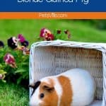 guinea pig on a white basket