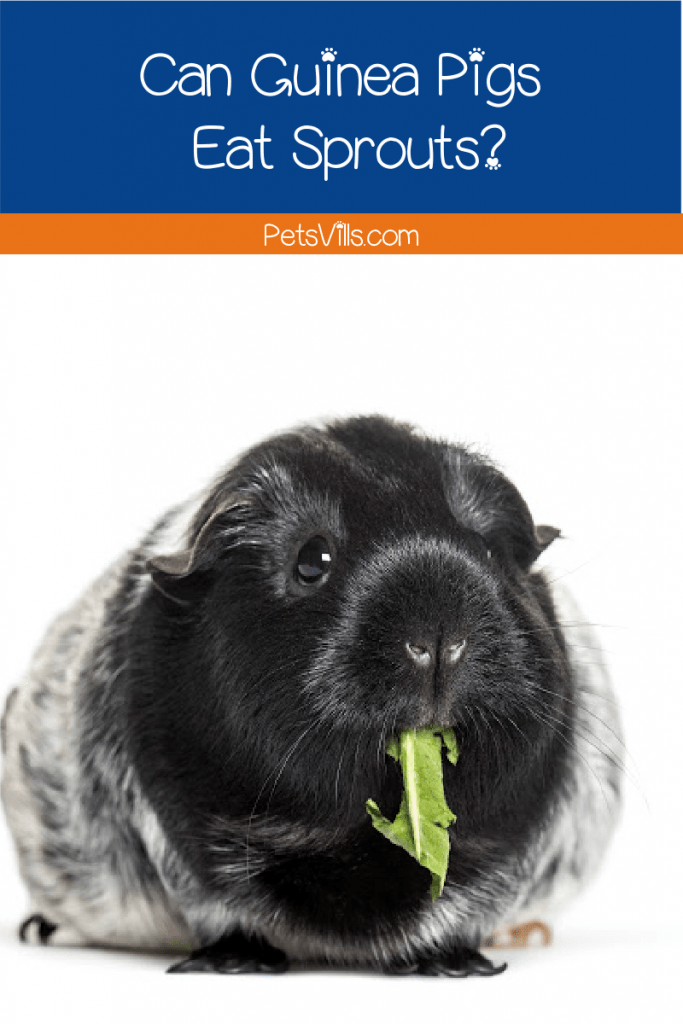 Black and white guinea pig with sprouts hanging out of his mouth