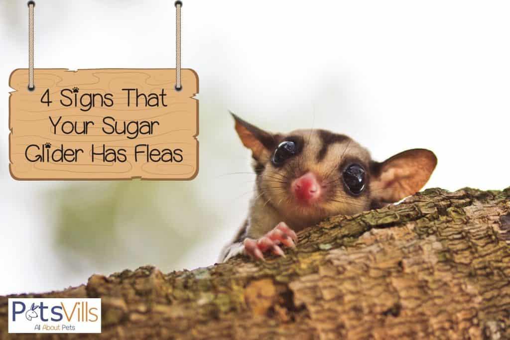 a sugar glider hiding on a branch of a tree: can sugar gliders get fleas?