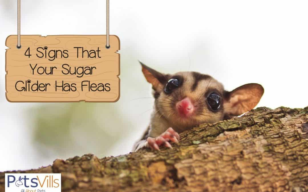 4 Signs That Your Sugar Glider has Fleas