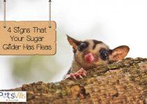 4 Signs That Your Sugar Glider has Fleas