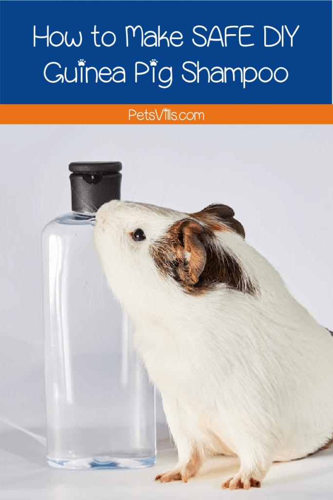 guinea pig next to an empty shampoo bottle