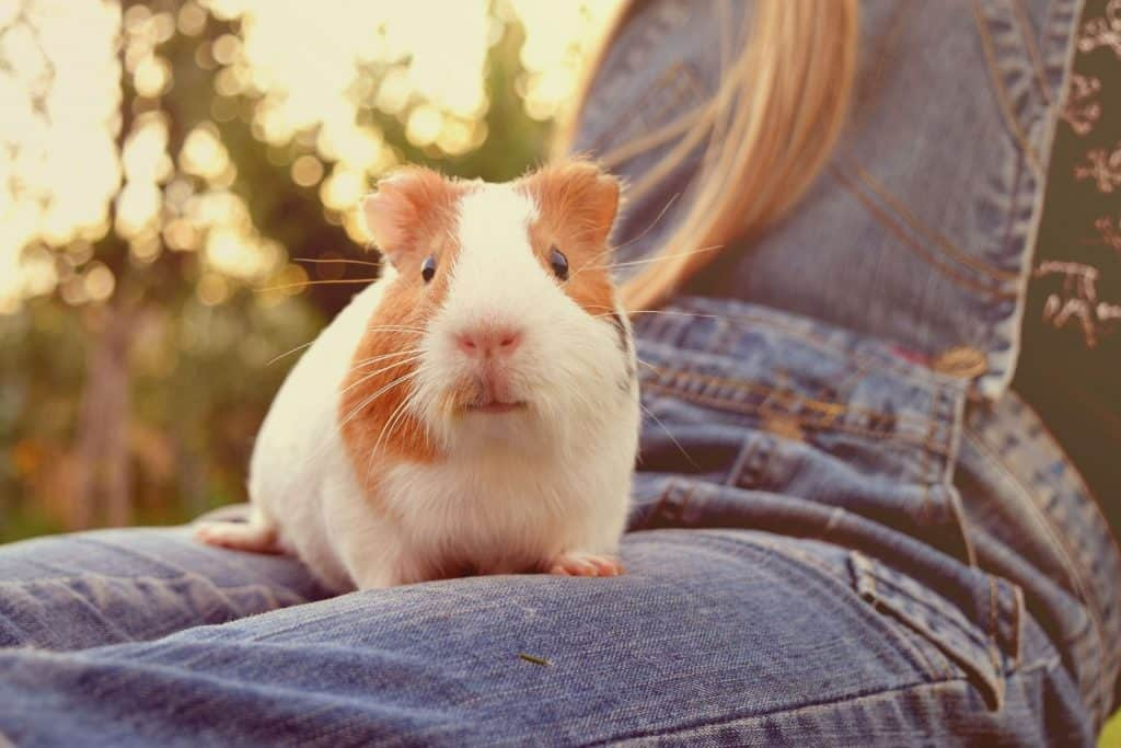 guinea pig sitting on the lap of a lady wearing jumpsuit