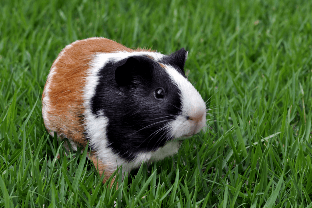 multi-colored guinea pig walking on the grass