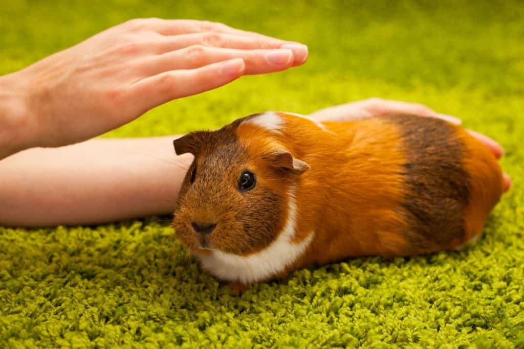 a lady's hand petting a guinea pig