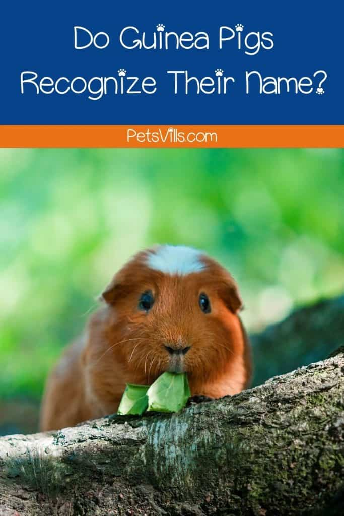 guinea pig eating a leaf with text,
