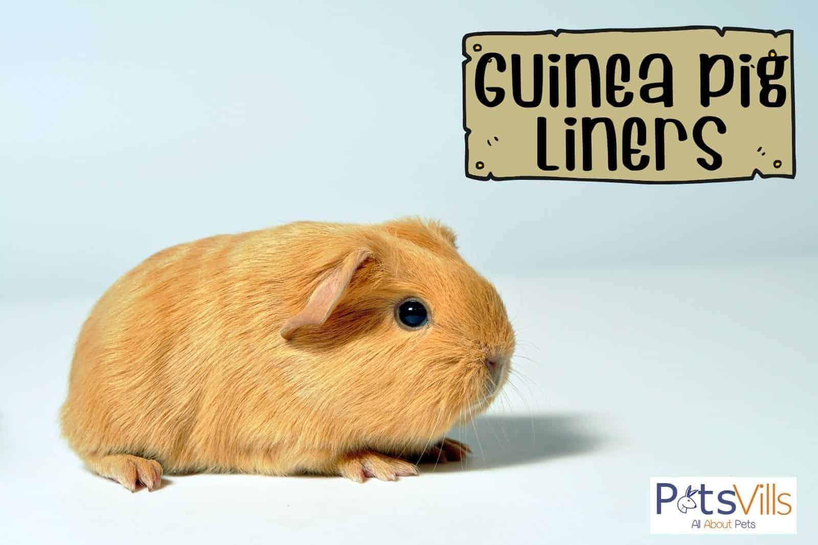 a cute brown guinea pig