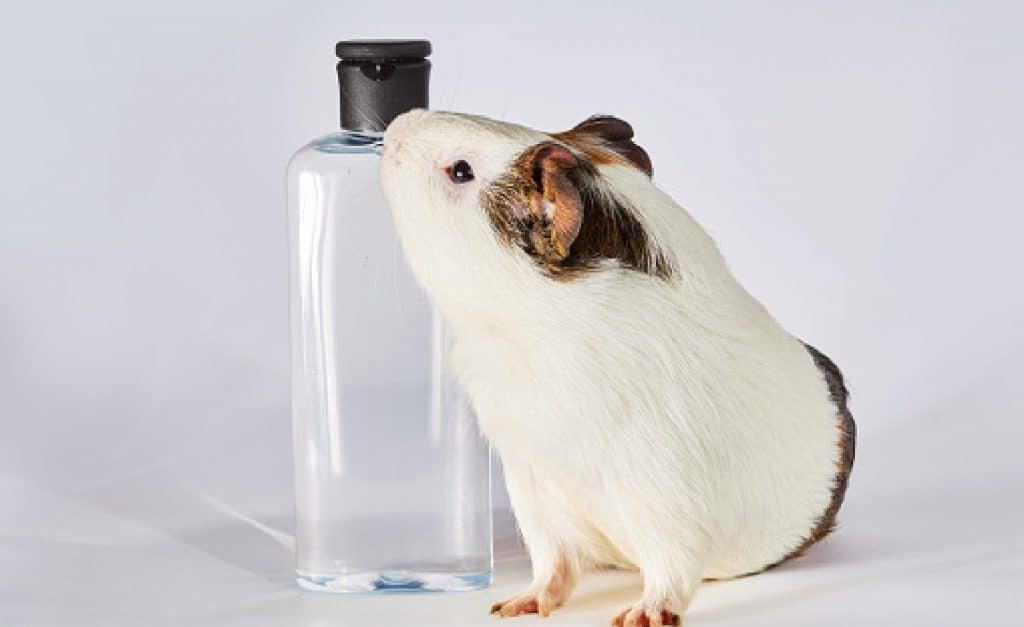 Transparent  pet shampoo and guinea pig isolated on white background