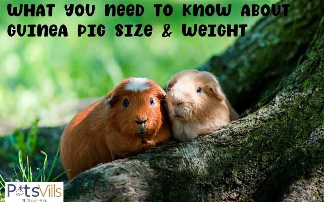 What You Need to Know About Guinea Pig Size and Weight