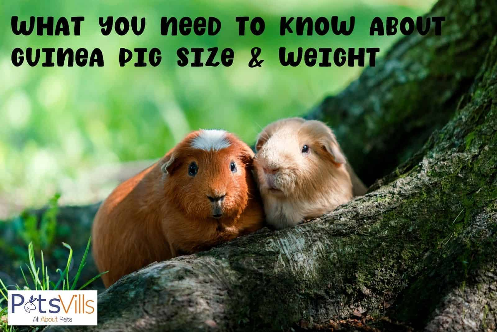 two lovely guinea pigs sitting on top of a tree's root: what is their guinea pig size and weight?