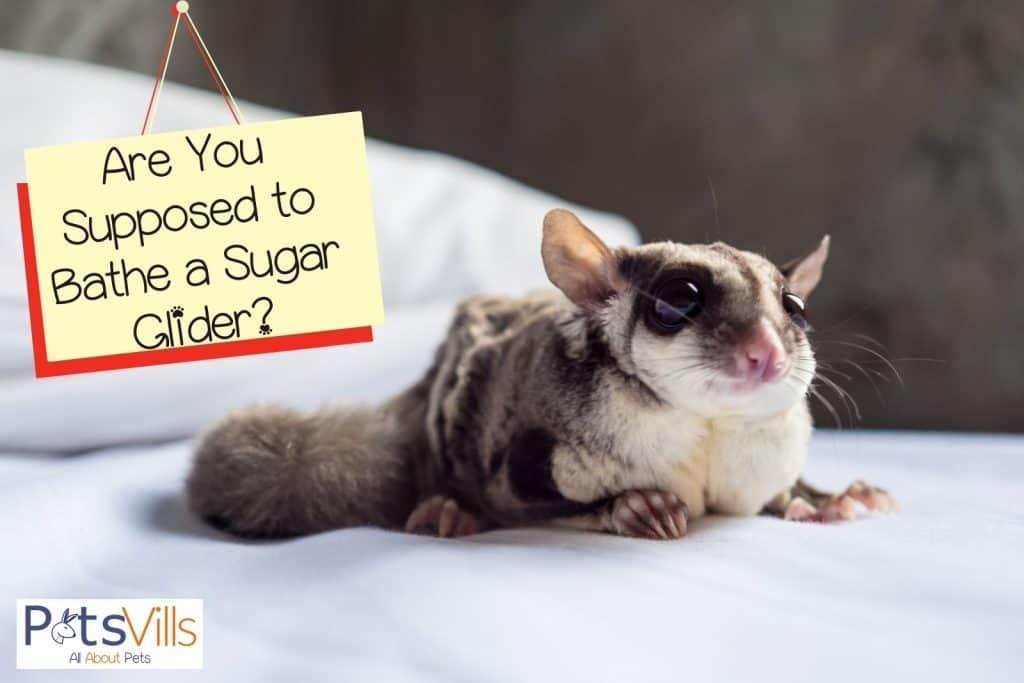 sugar glider lying on a soft bed