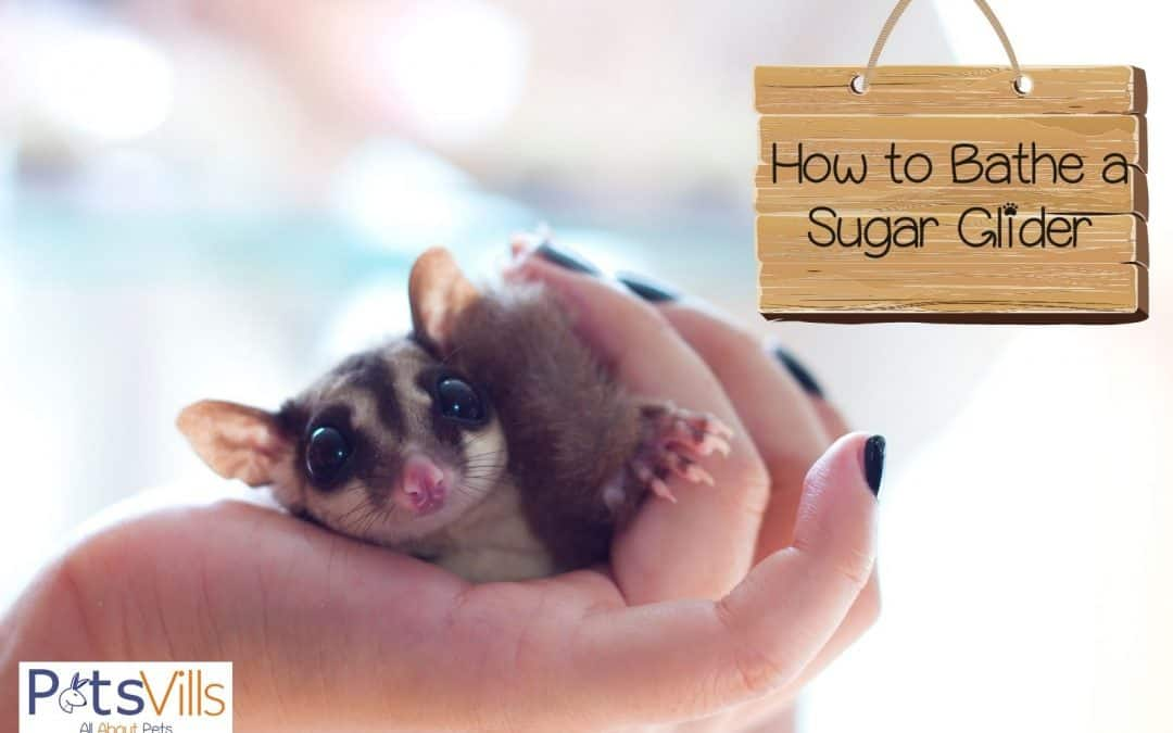 How To Give Sugar Gliders a Bath + 3 Ways to Get Rid Of Odors
