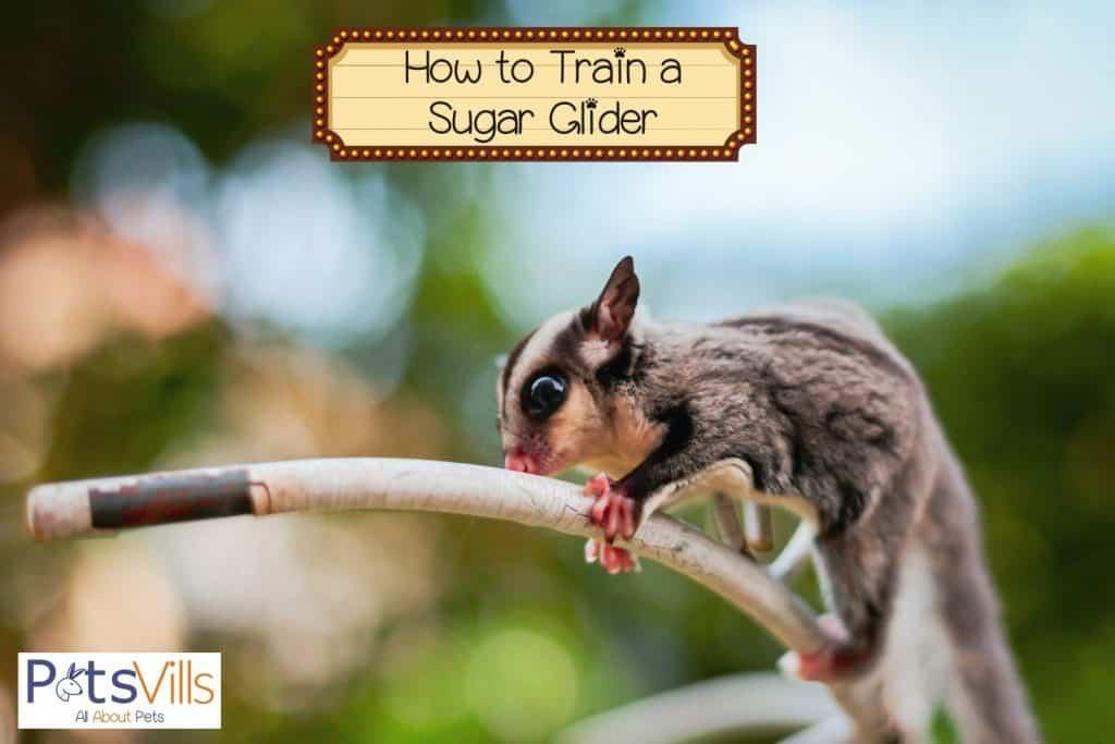 a sugar glider training using a stick