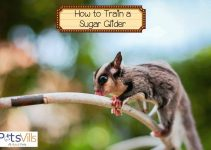 How To Tame A Sugar Glider (4 Types of Training)