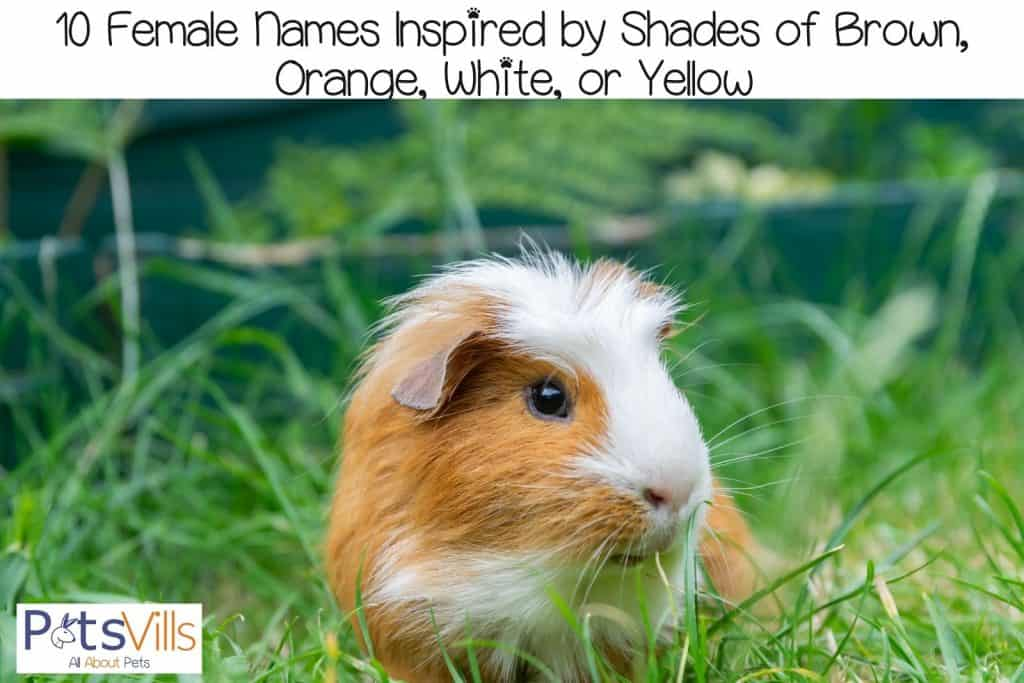 a blonde and white guinea pig roaming on the grasses