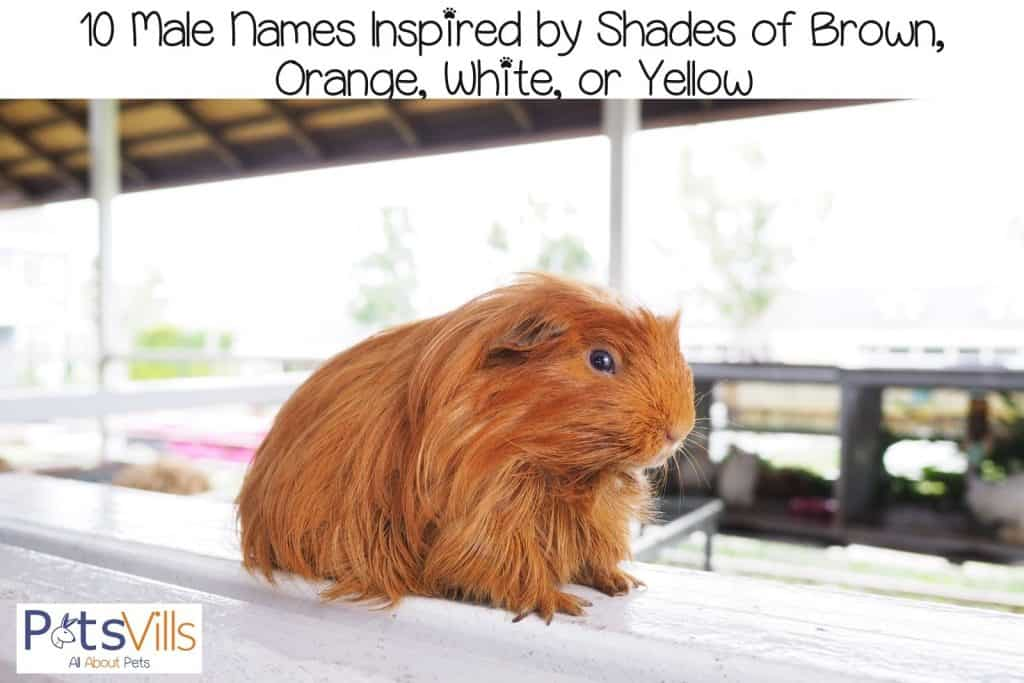 a hairy brown guinea pig