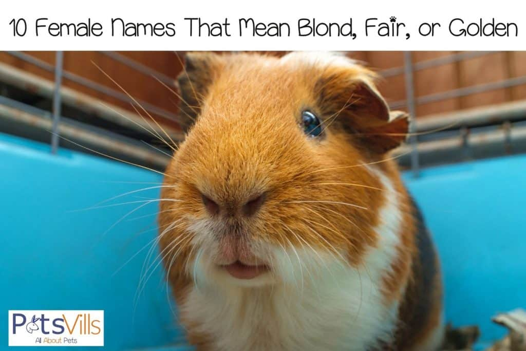 a cute golden and white guinea pig