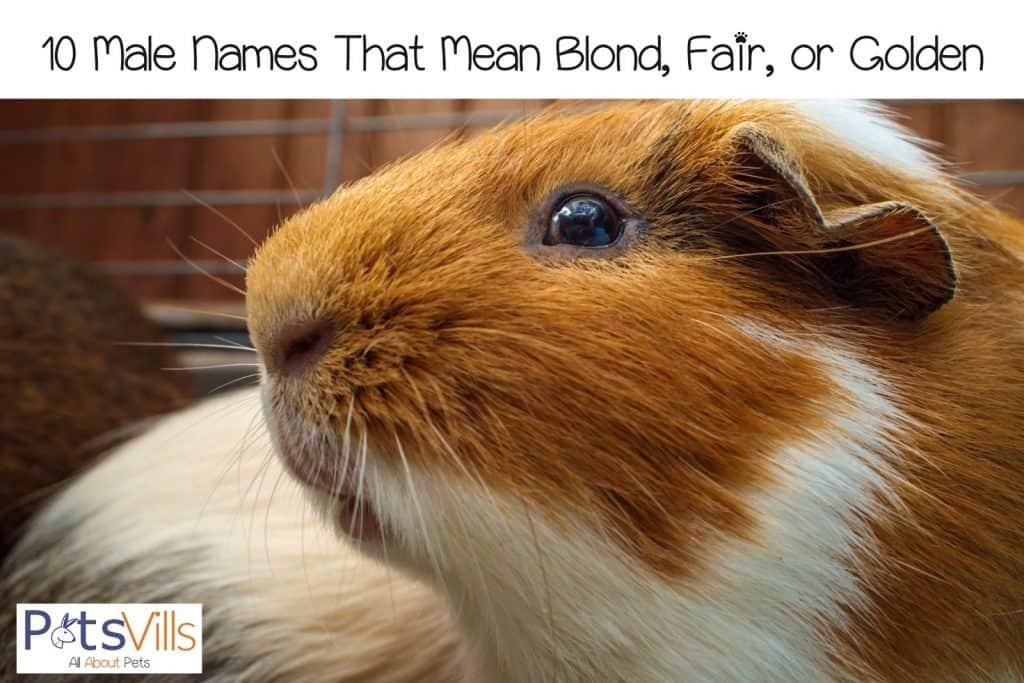 golden guinea pig