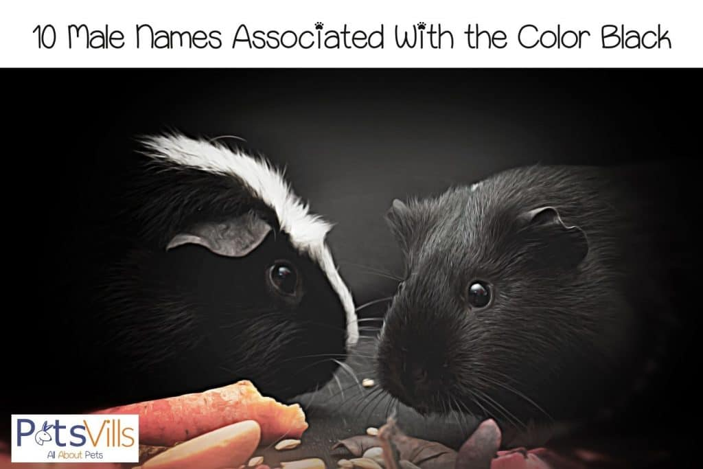 two black guinea pigs eating carrots