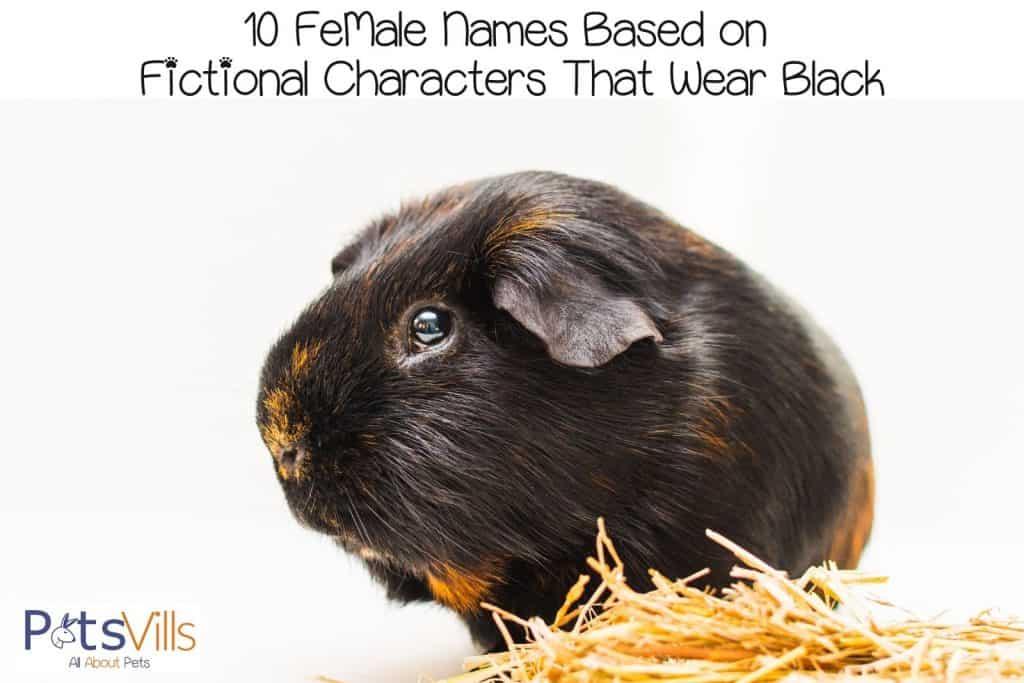 a very adorable black and blonde guinea pig
