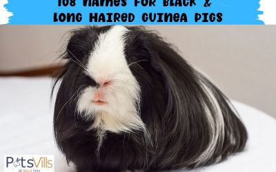 108 Adorable Names for Black and Long-Haired Guinea Pigs