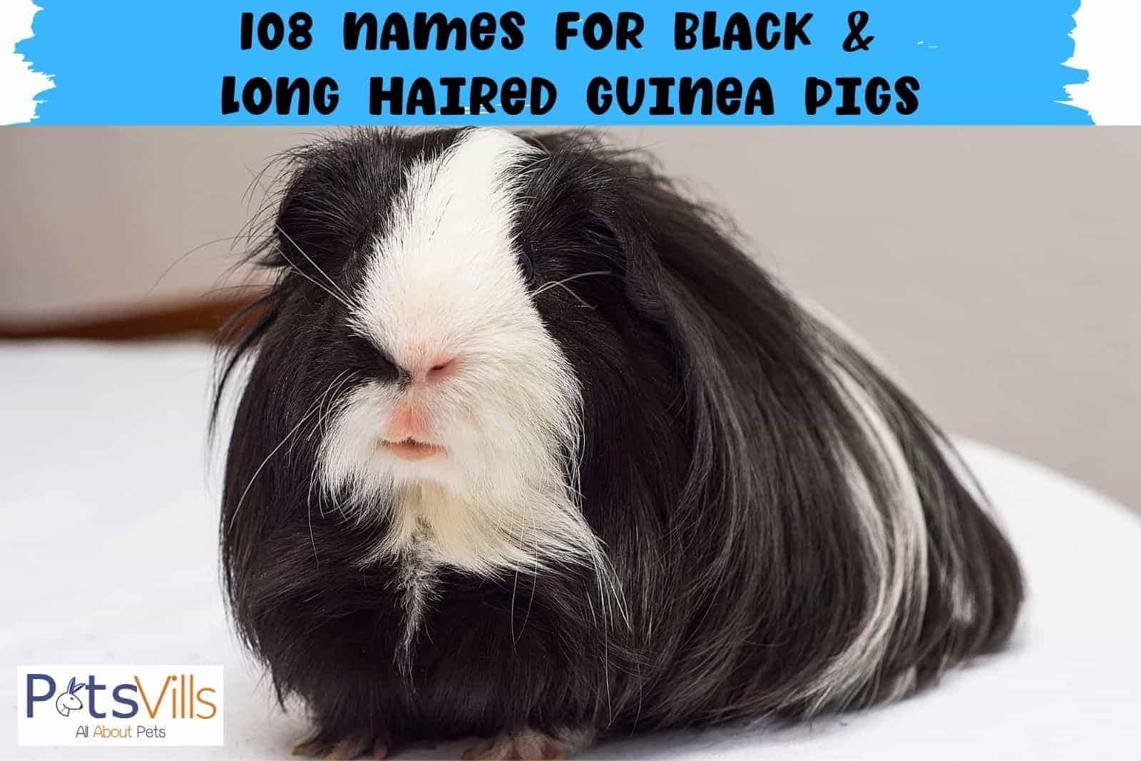 108 names for black and long haired guinea pigs