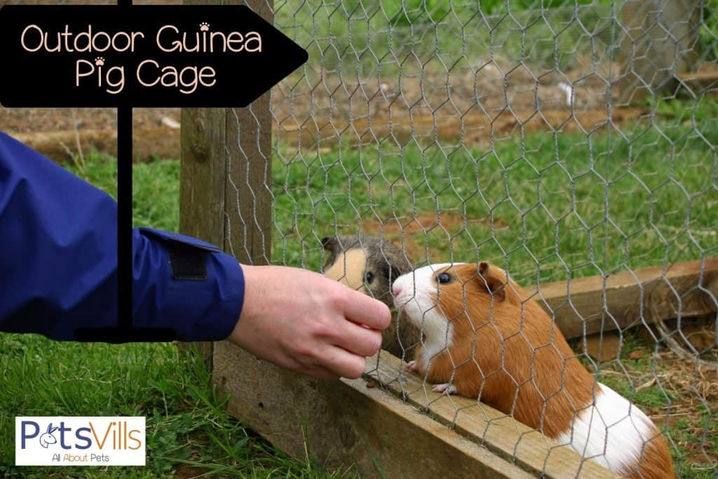 a man feeding a guinea pig in an outdoor guinea pig cage