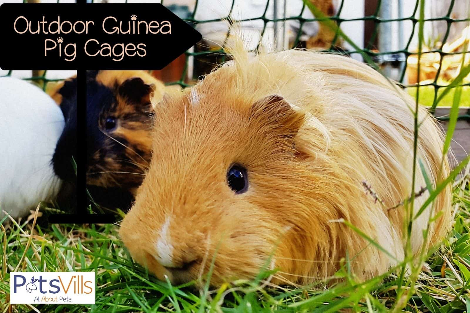 a cute brown guinea on her outdoor guinea pig cage (2)