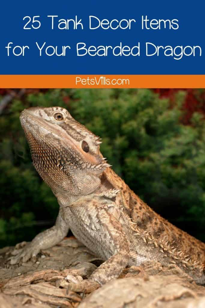 an adult bearded dragon with the sign
