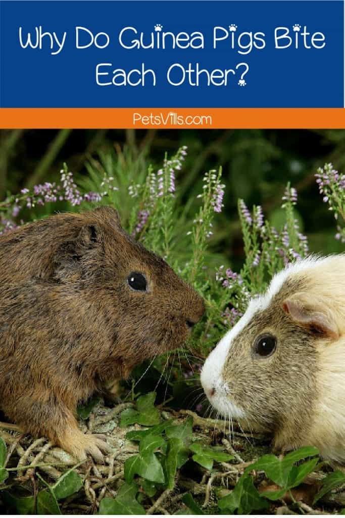 Pair of guinea pigs facing off in the grass