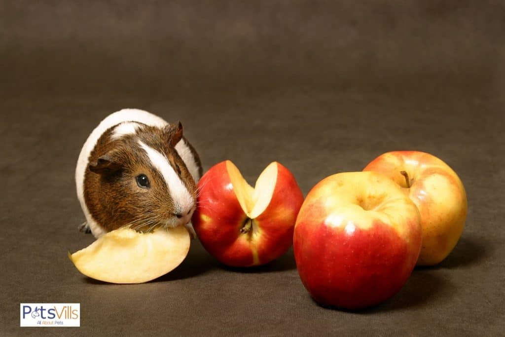 guinea pig eating red apples