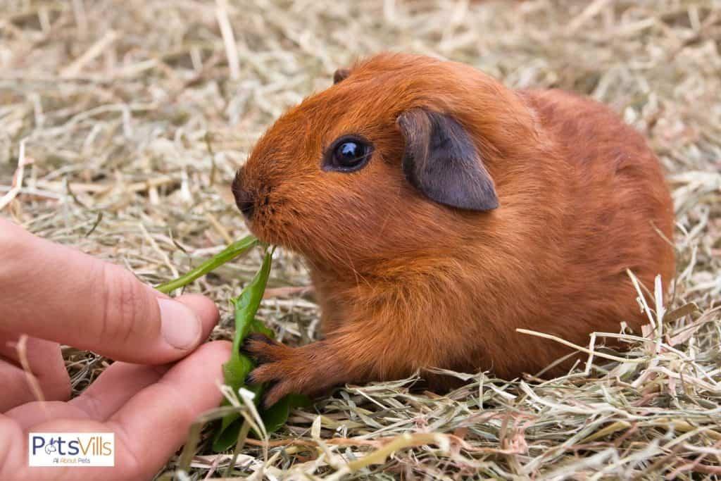 brown guinea eating a green leaf