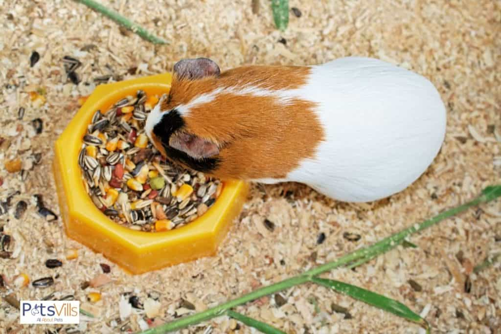 guinea pig eating seeds on his yellow dish