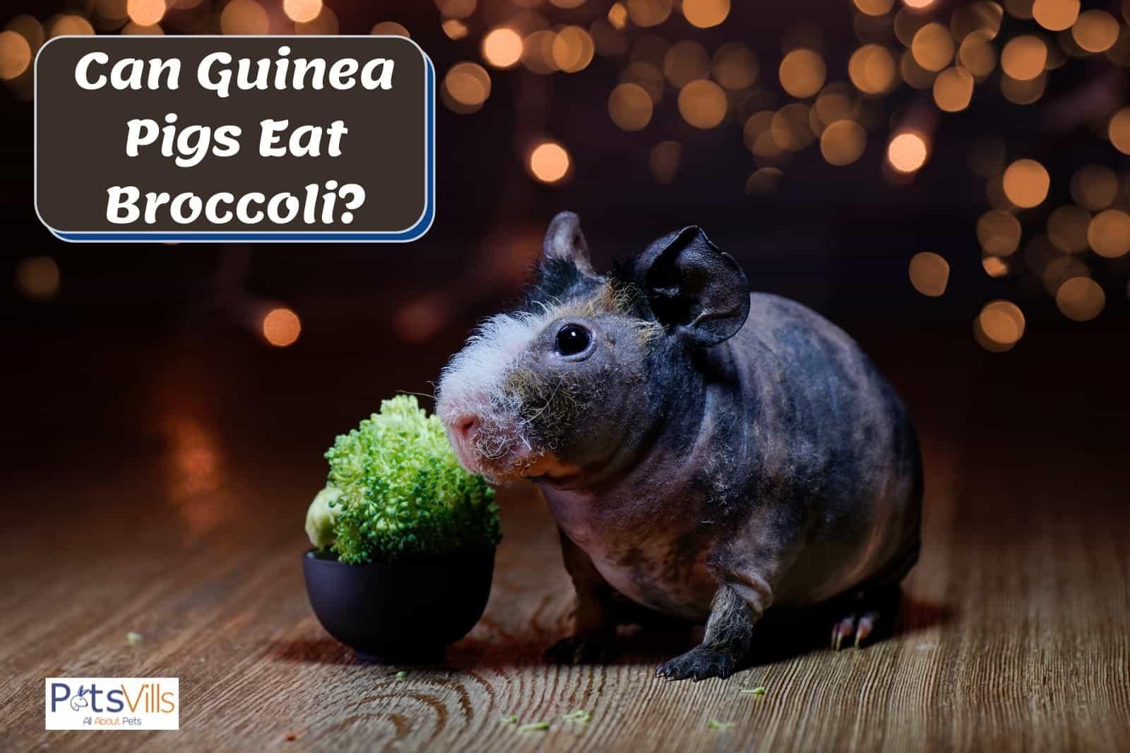 A bald guinea pig beside a broccoli. Can guinea pigs eat broccoli?
