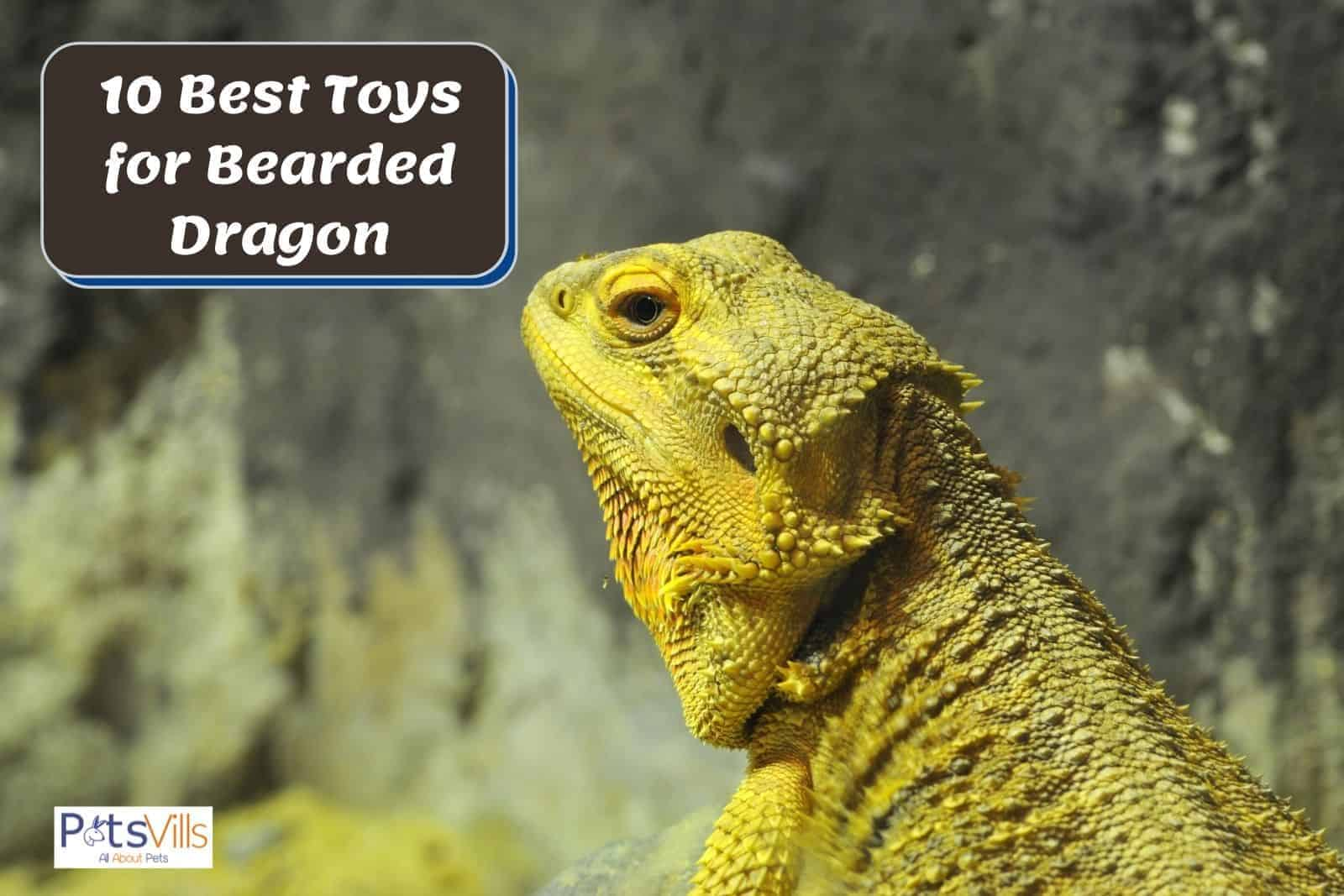 a large yellow bearded dragon