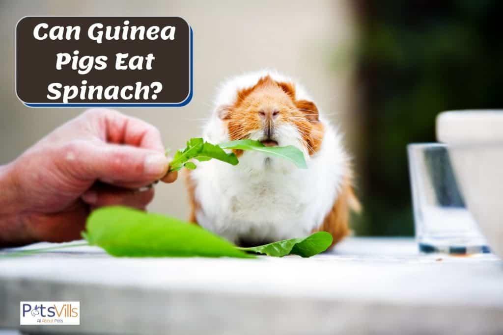 a hand feeding spinach to a guinea pig