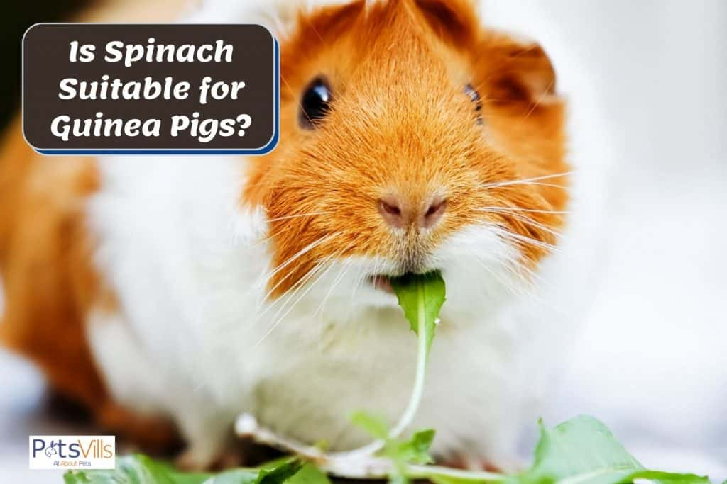 a chubby brown guinea eating spinach
