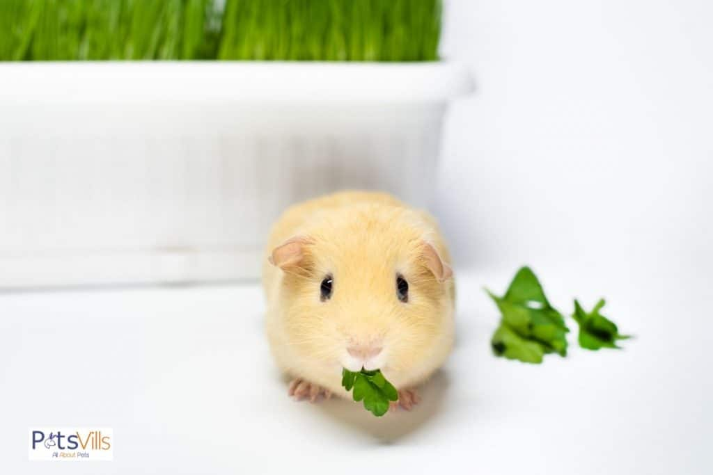 a cute cream-colored guinea pig eating spinach leaves but can guinea pigs eat spinach?
