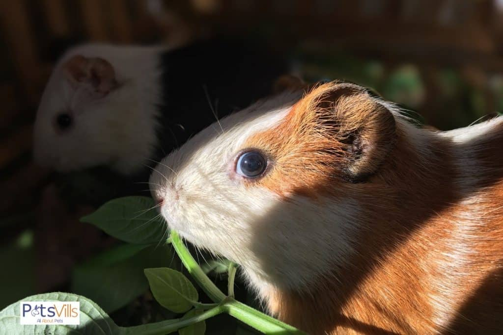 a guinea pig sneaking to eat a leafy green