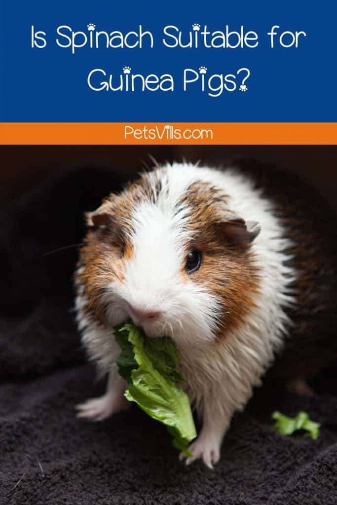 a cute guinea pig eating a delicious spinach