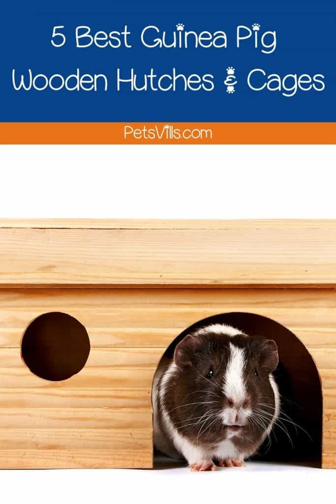 black and white guinea pig inside his guinea pig wooden hutch