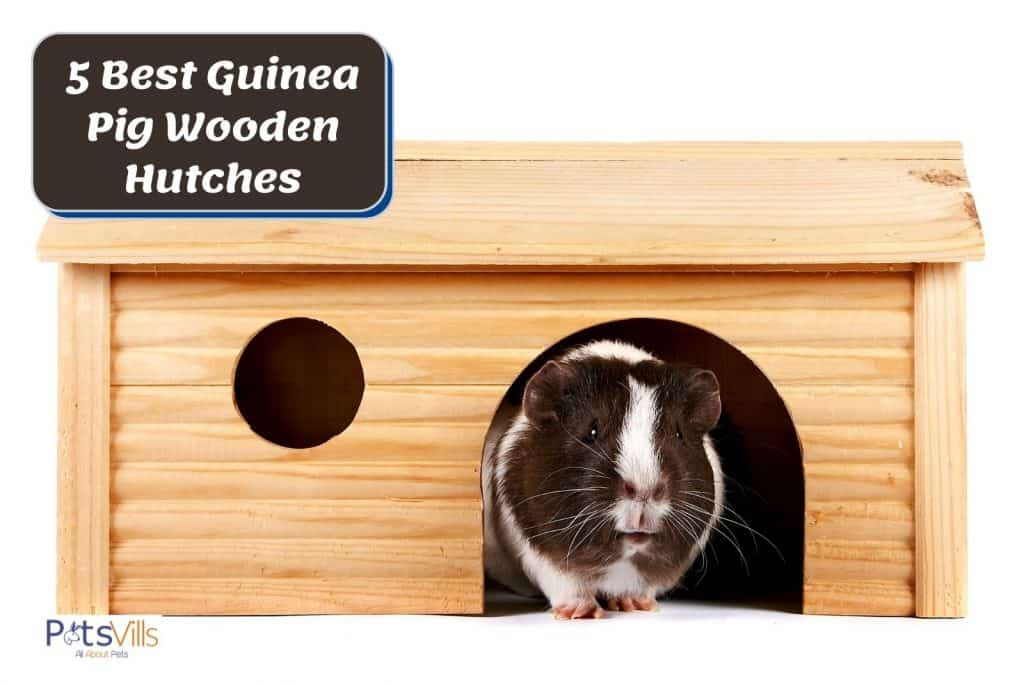 a black and white cavy inside a guinea pig wooden hutch