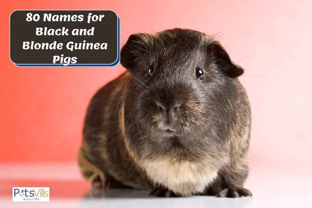 a cute black and blonde cavy suitable with any names for black and blonde guinea pigs