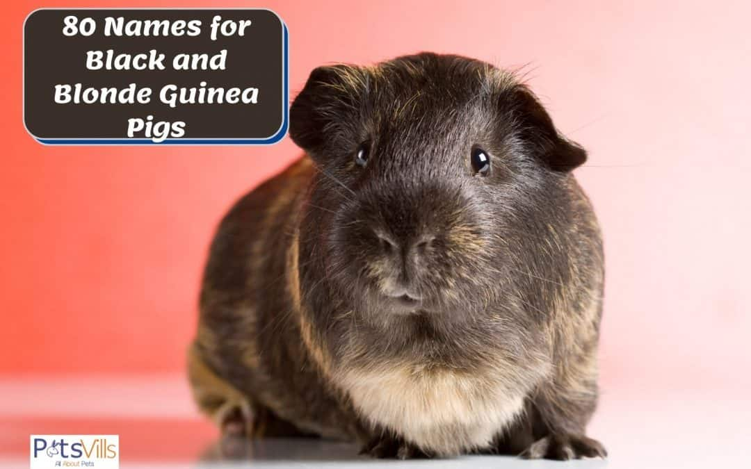 80 Amazing Names For Black and Blonde Guinea Pigs