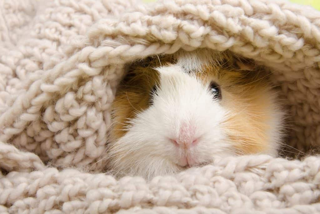 guinea pig covered with a blanket