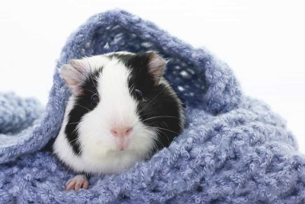 black and white guinea covered with blue blanket