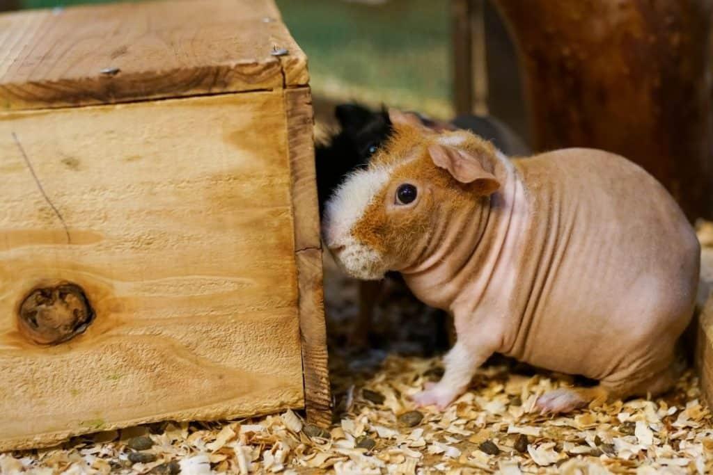 bald guinea pig
