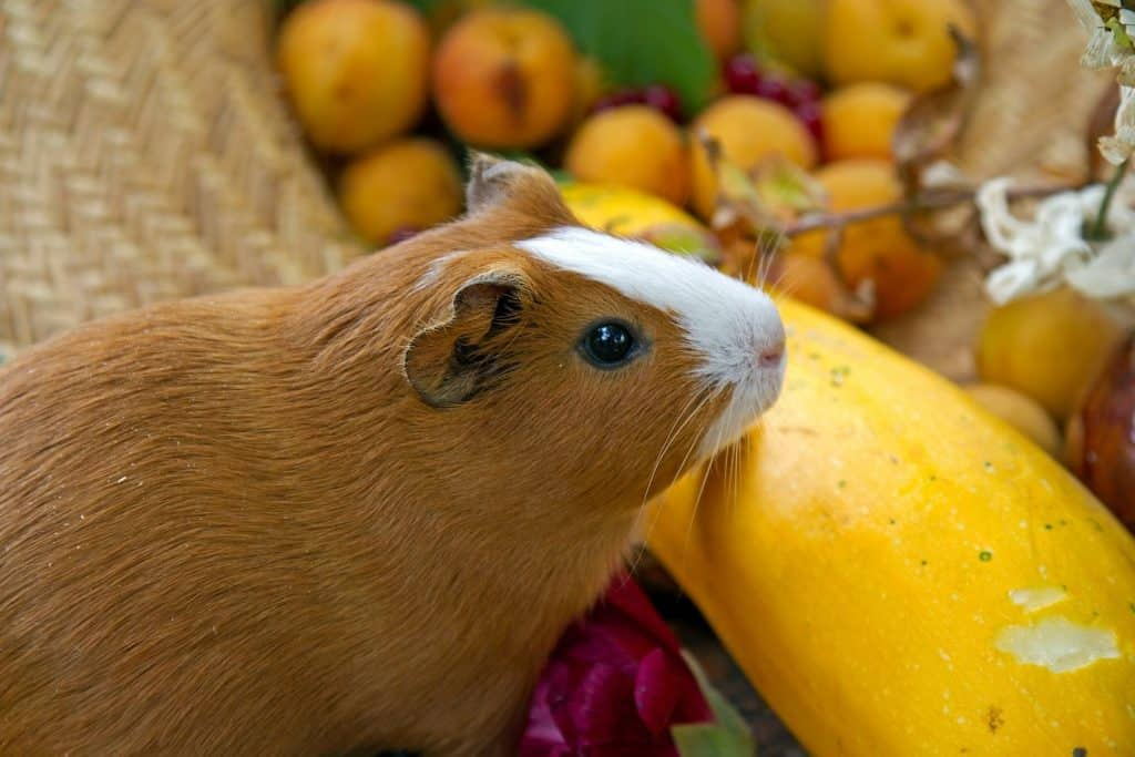 guinea pig in front of a yellow fruit